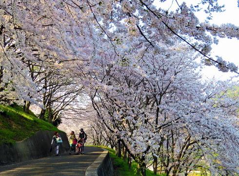 広島 桜 ランキング1位 塔の峰千本桜