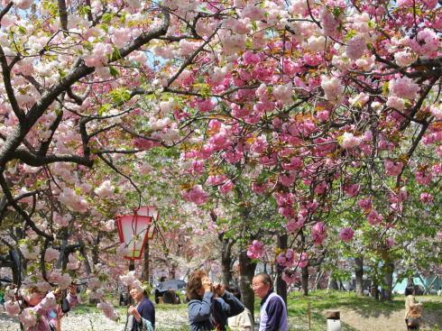 広島 桜 ランキング3位 花のまわり道