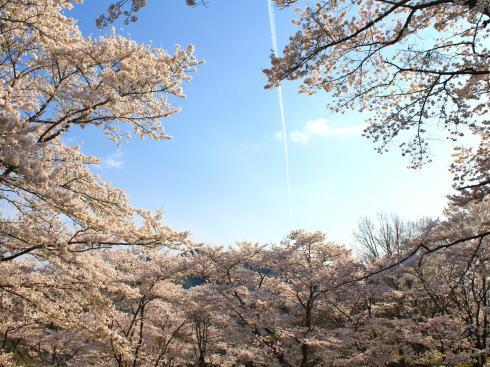 広島 桜 ランキング8位 可部運動公園のピクニック広場