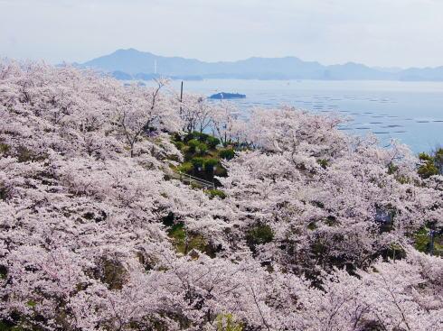広島 桜 ランキング2位 正福寺山公園