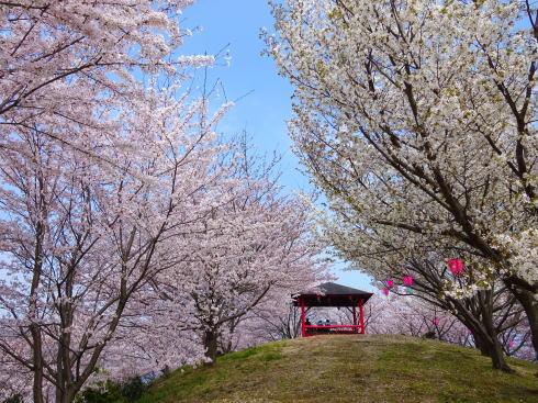 広島 桜 ランキング7位 みなとの丘公園
