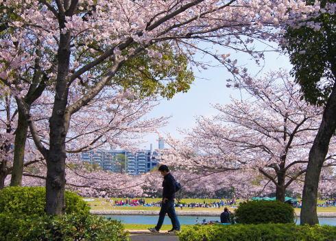 広島 桜 ランキング6位 広島市中心部川沿いの桜