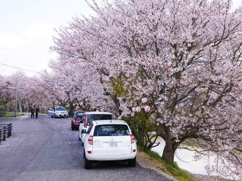 世羅 芦田川沿い 桜並木 画像5