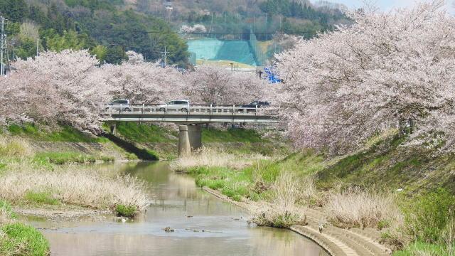 世羅 芦田川沿いの桜並木、お散歩・川べりお花見スポット