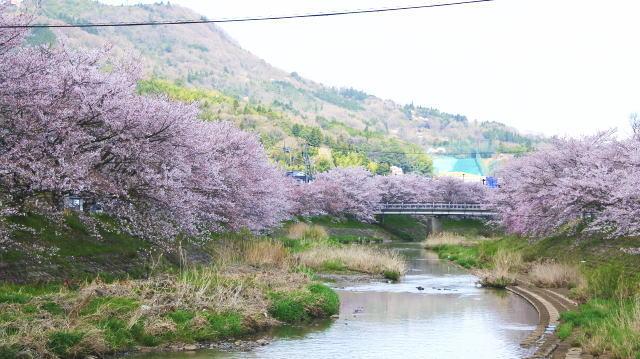 世羅 芦田川沿い 桜並木 画像12