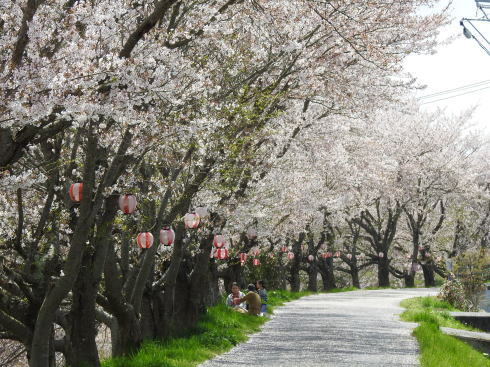世羅 芦田川沿い 桜並木