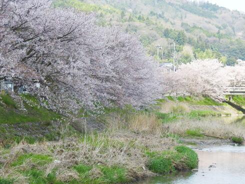 世羅 芦田川沿い 桜並木 画像7
