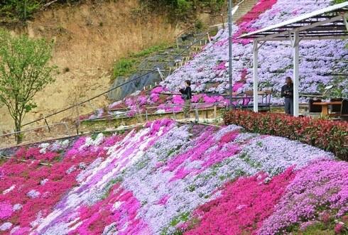 福山・田島の芝桜、ふくろうの花畑