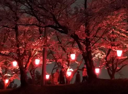 住吉堤防敷の夜桜、満開へ