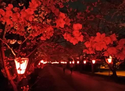 住吉堤防敷の桜並木、夜桜でお花見