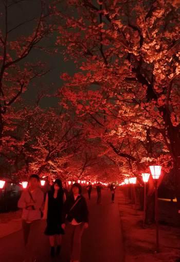 廿日市市の桜の名所、住吉堤防敷