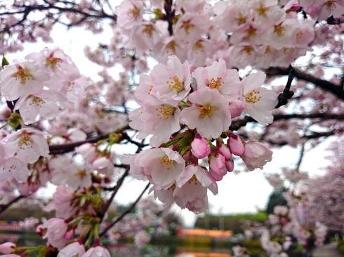 庄原市 上野公園の桜 画像4