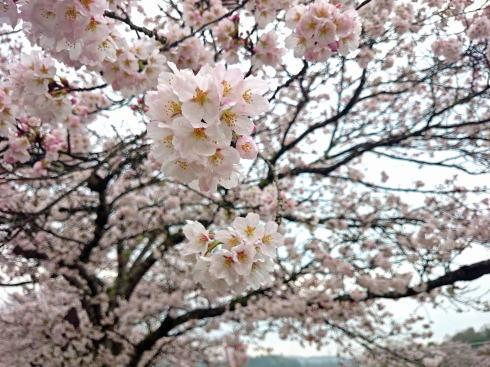 庄原市 上野公園の桜 画像1