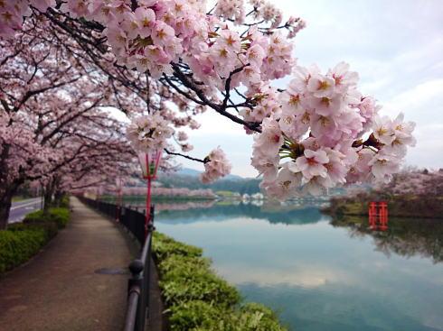 庄原市 上野公園の桜 画像5