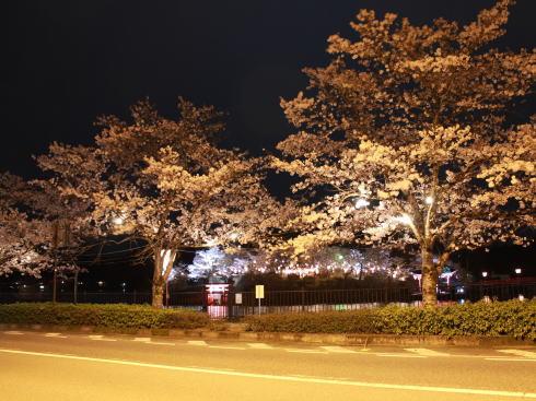 上野公園(庄原)夜桜ライトアップ 画像8