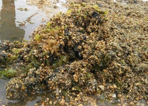 ホトトギスガイが固めた砂