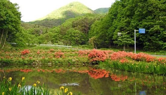 広島県 安芸太田町 小坂交差点のレンゲツツジ 画像2
