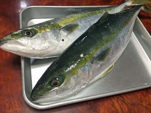 ヤズ、ハマチ、ブリ、成長すると名前が変わる出世魚【瀬戸内の魚】