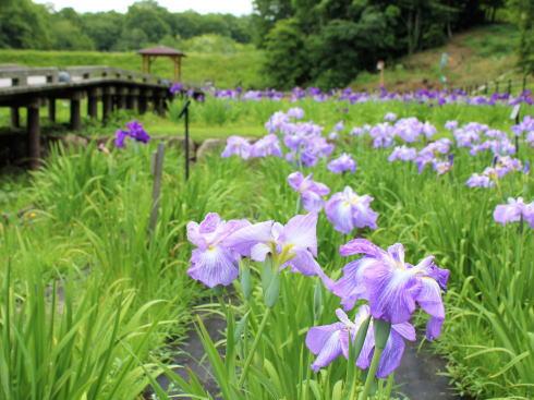 広島県立みよし公園 菖蒲園の風景