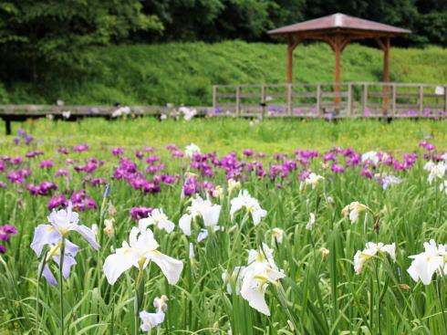 広島県立みよし公園 菖蒲園の風景4