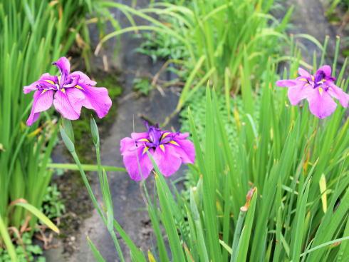 広島県立みよし公園 菖蒲園の風景5