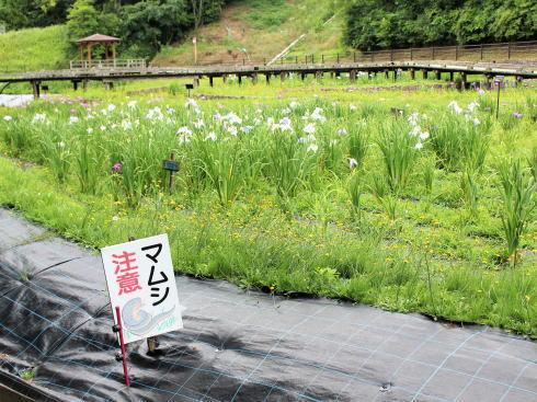 広島県立みよし公園 菖蒲園の風景6