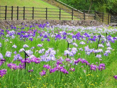 広島県立みよし公園 菖蒲園の風景7