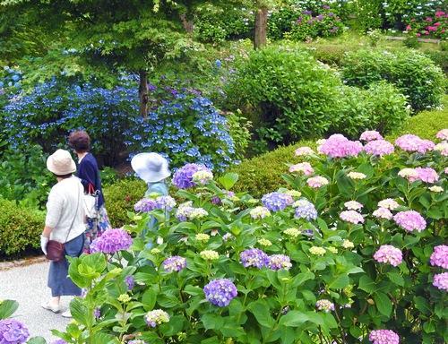 癒しブルー!三景園で咲き誇るアジサイに包まれる「花まつり」開催中