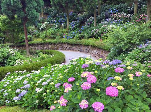 三景園で咲き誇るアジサイに包まれる「花まつり」