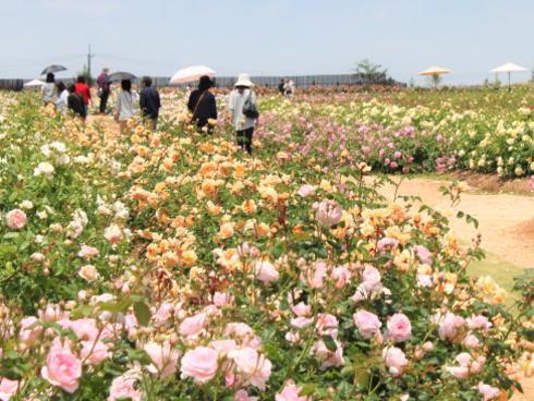 世羅高原 花の森 バラ園の様子6