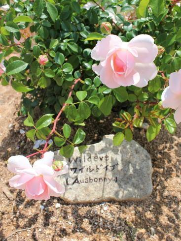 世羅高原 花の森 イングリッシュローズの花弁が少ないもの