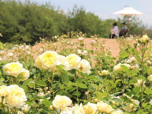 世羅高原 花の森 ばら園の様子
