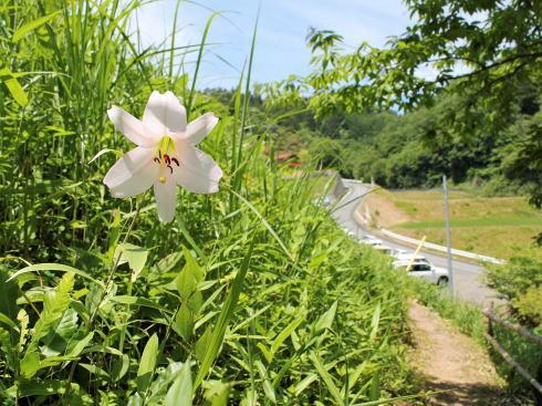 山ゆりの里、広島・神石高原に白く可憐なユリが自生する散策スポット