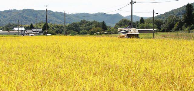 黄金色の畑で稲刈りが進む、広島・庄原市の風景