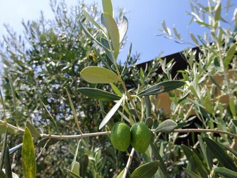 江田島オリーブファクトリー オリーブの木