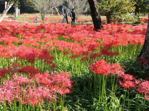 真赤に染まる彼岸花群生地(三次市)、2017年も開花スタート