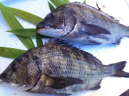 黒鯛(チヌ)、釣り人に愛される瀬戸内のおさかな
