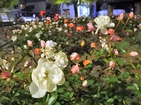 ルクシアタふくやま 中央公園で咲いていたバラ