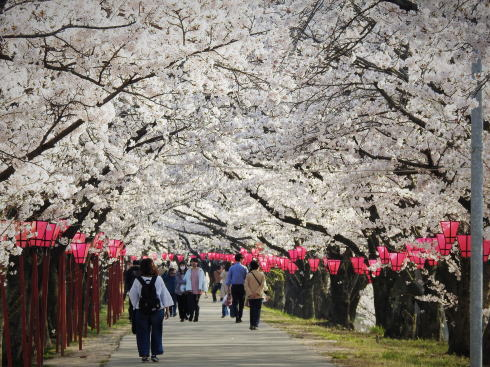 広島県廿日市市 住吉堤防敷 桜並木の様子
