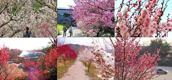 広島県 梅スポット、縮景園など 3月上旬頃から各地で梅まつり