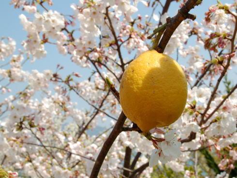 尾道 シトラスパークが臨時開園、桜と瀬戸の眺めを