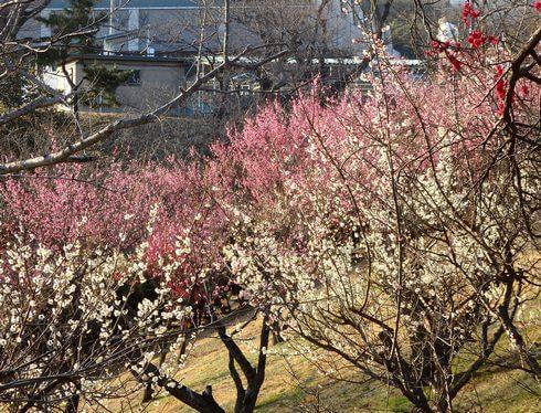 ちゅーピーパーク 梅の花