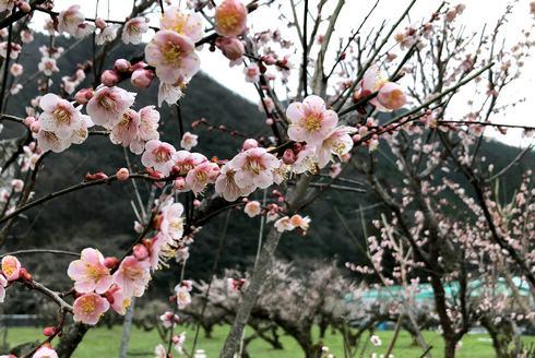 ヒロテック梅の里、淡いピンクの梅が綺麗に