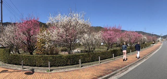 西風梅苑、梅が満開でみごろ
