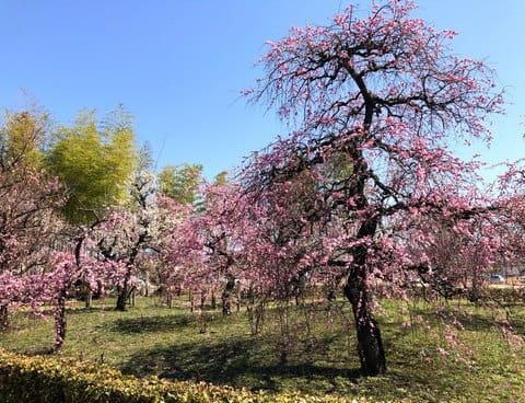 こころ西風梅苑で梅がみごろ