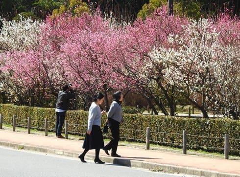 こころ西風梅苑で梅がみごろ、樹齢100年以上も含む200本の庭園