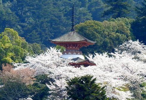 宮島の桜、海から見る満開の風景