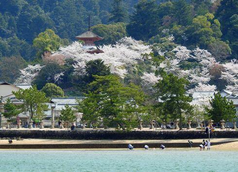 宮島・多宝塔の桜が満開
