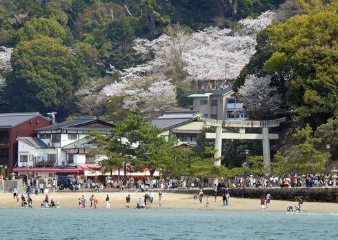 宮島・桜が満開の風景