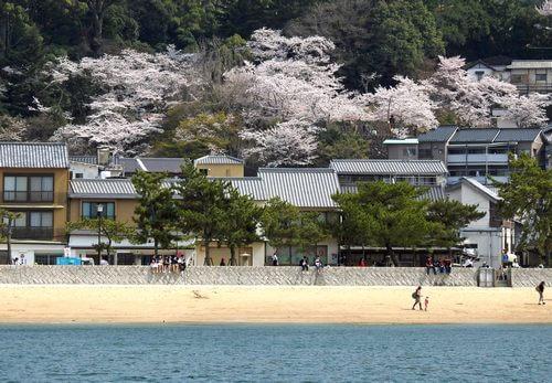 宮島・表参道商店街ちかくの桜が満開